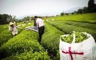۷۷ درصد مطالبات چایکاران پرداخت شد  پیش بینی تولید ۱۳۵ هزار تن برگ سبز چای