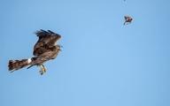 عکس هایی از لحظه انتقال شکار بین دو سنقر خاکستری
