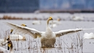 افزایش مرگ پرندگان  | ورود به میانکاله ممنوع شد