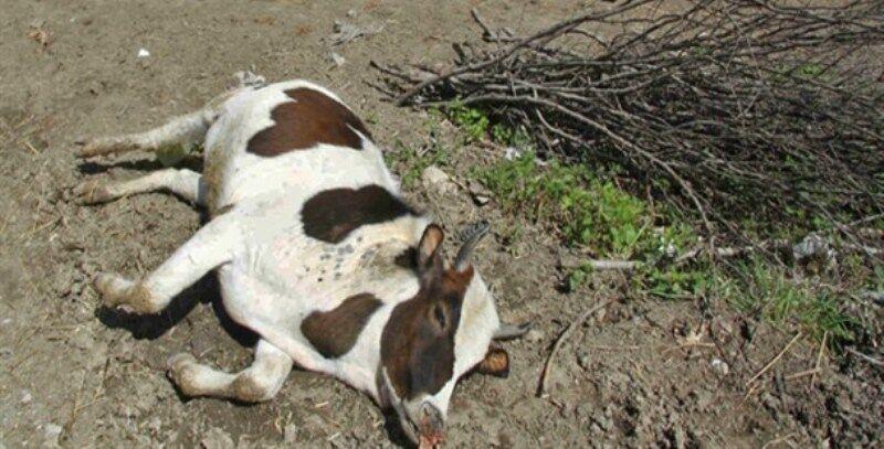 مرگ گاوهای حاشیه تالاب میانگران ایذه در پرده ای از ابهام