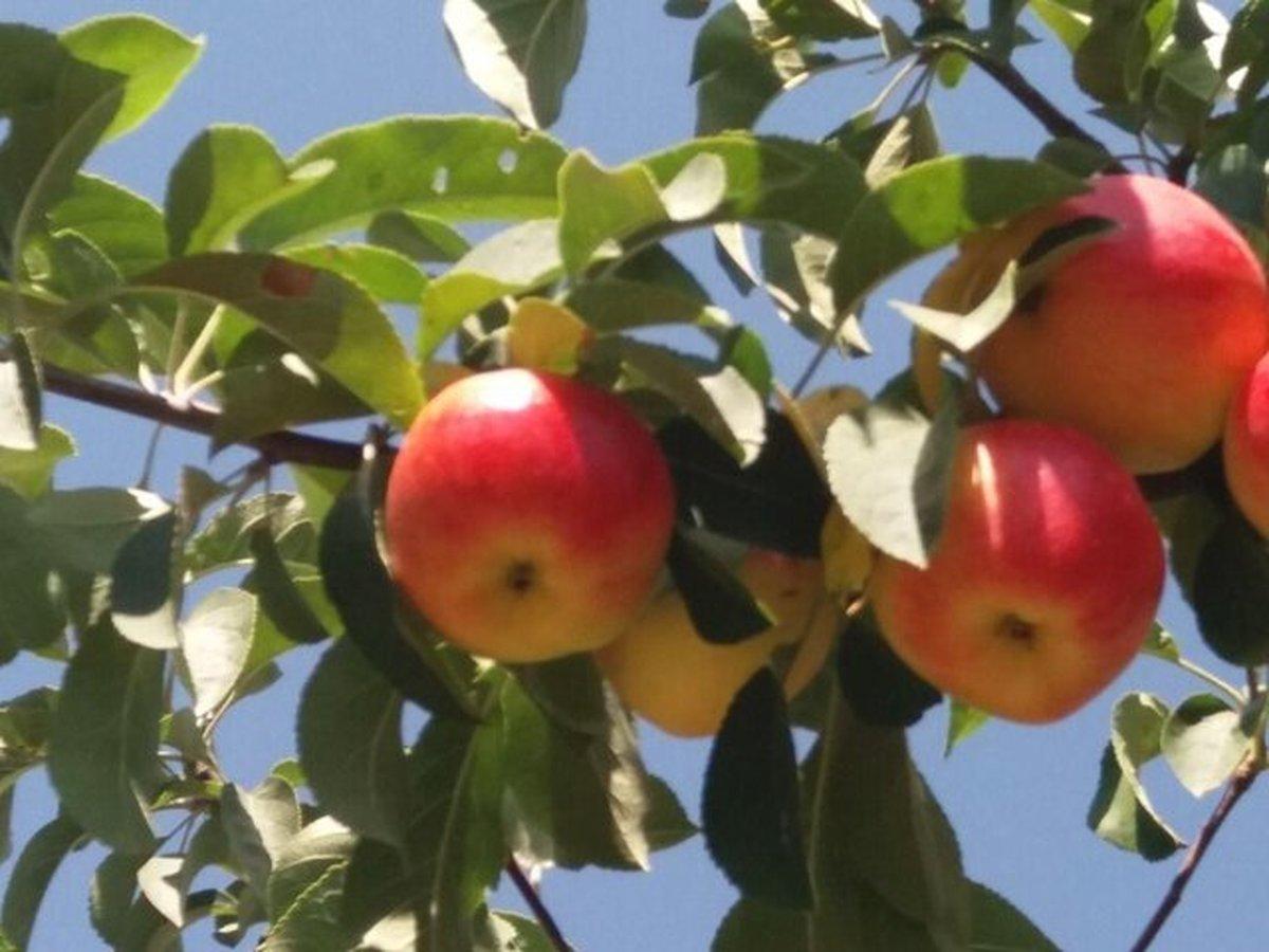 موفقیت محققان کشور در ردیابی ویروسها و سالمسازی پایه و ارقام مختلف سیب و زیتون